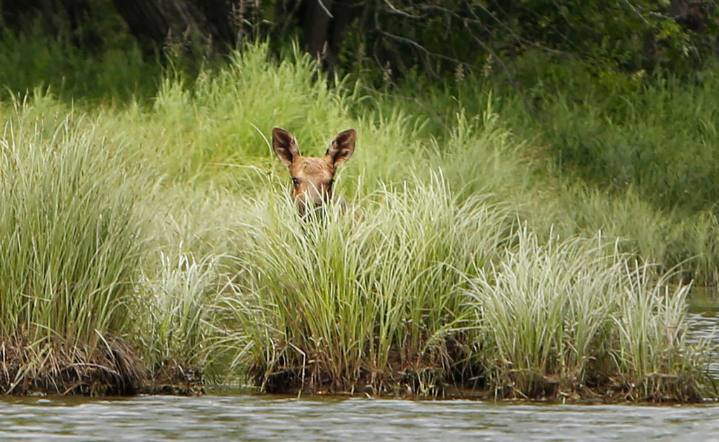 A moose calf pokes its head up above grass along the bank of the East Branch of the Penobscot River in Patten.
