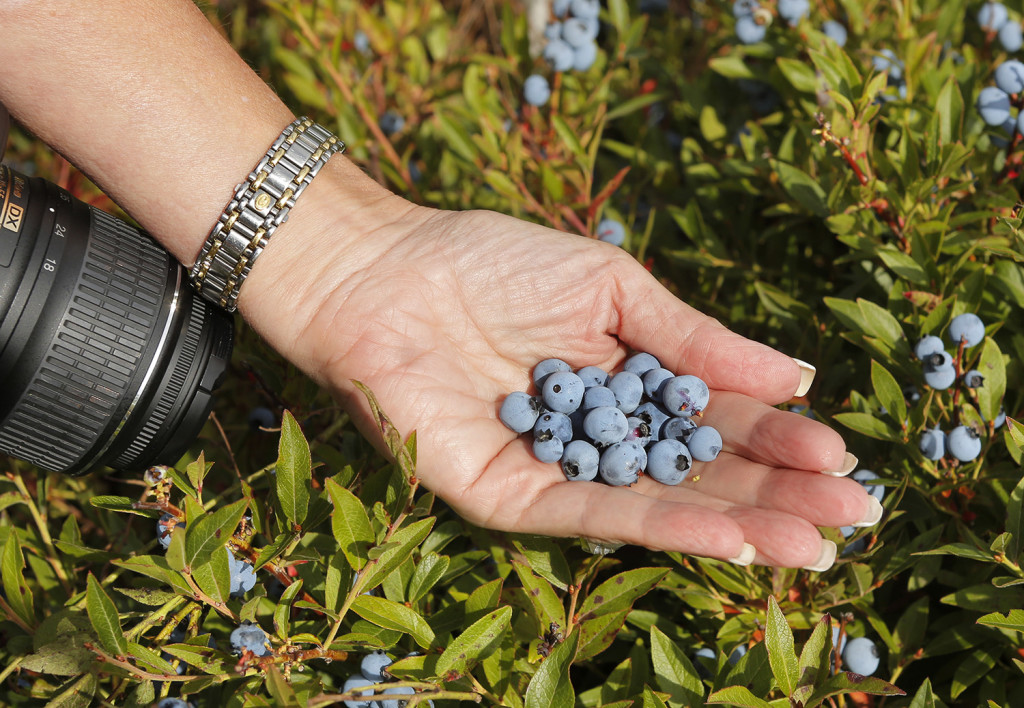 Susan Irby, also known as her blogger title The Bikini Chef, shows a handful of Maine blueberries.