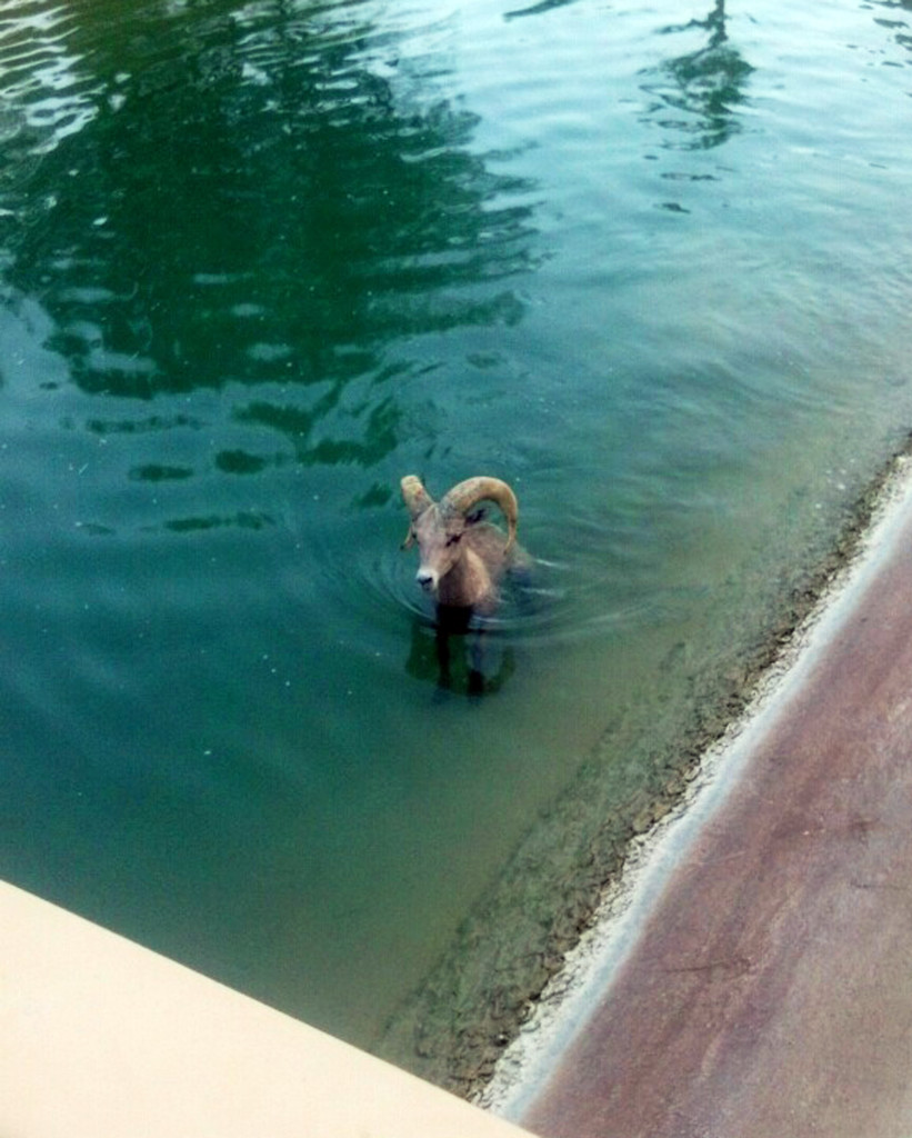 A peninsula bighorn sheep is stuck in a canal near the Arnold Palmer Golf Course at the PGA West Country Club in La Quinta, Calif. Animal Control Officer Kyle Stephens said the animal appeared lethargic and he could see hoof marks where the sheep had tried to pull himself out. The Associated Press
