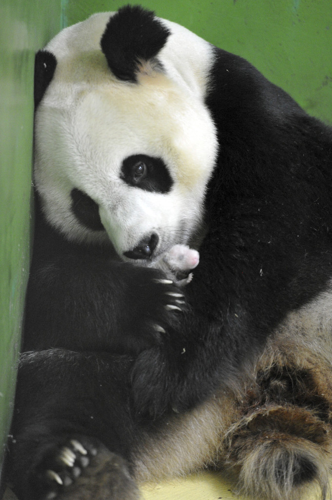Giant panda Ju Xiao caresses one of her panda cubs at the Chimelong Safari Park in south China's Guangdong Province. The Associated Press