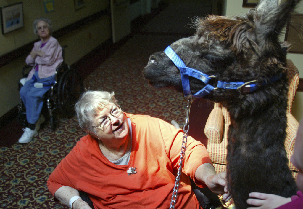 Virginia Hochella, a resident at Life Care Center of Nashoba Valley in Littleton, Mass., visits with Travis, a llama that the center uses for pet therapy. This spring, the center was awarded a perfect score in a state survey. Photos by Bob Whitaker/Lowell Sun