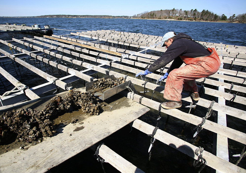 Toleff Olson hauls in a rope of mussels at Bangs Island Mussels off Clapboard Island in Casco Bay. Maine researchers find that mussels can combat sea lice.