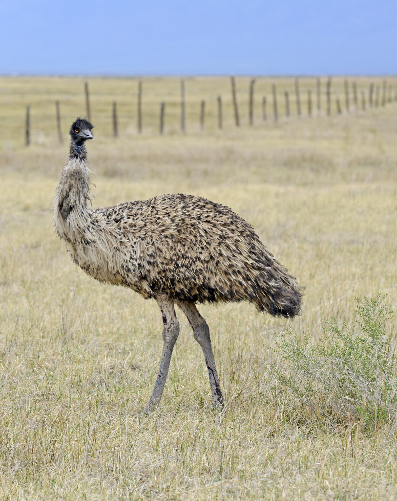 Emus are the largest birds native to Australia. The soft-feathered, flightless birds reach up to 6.6  feet in height, second only to the ostrich. Shutterstock image