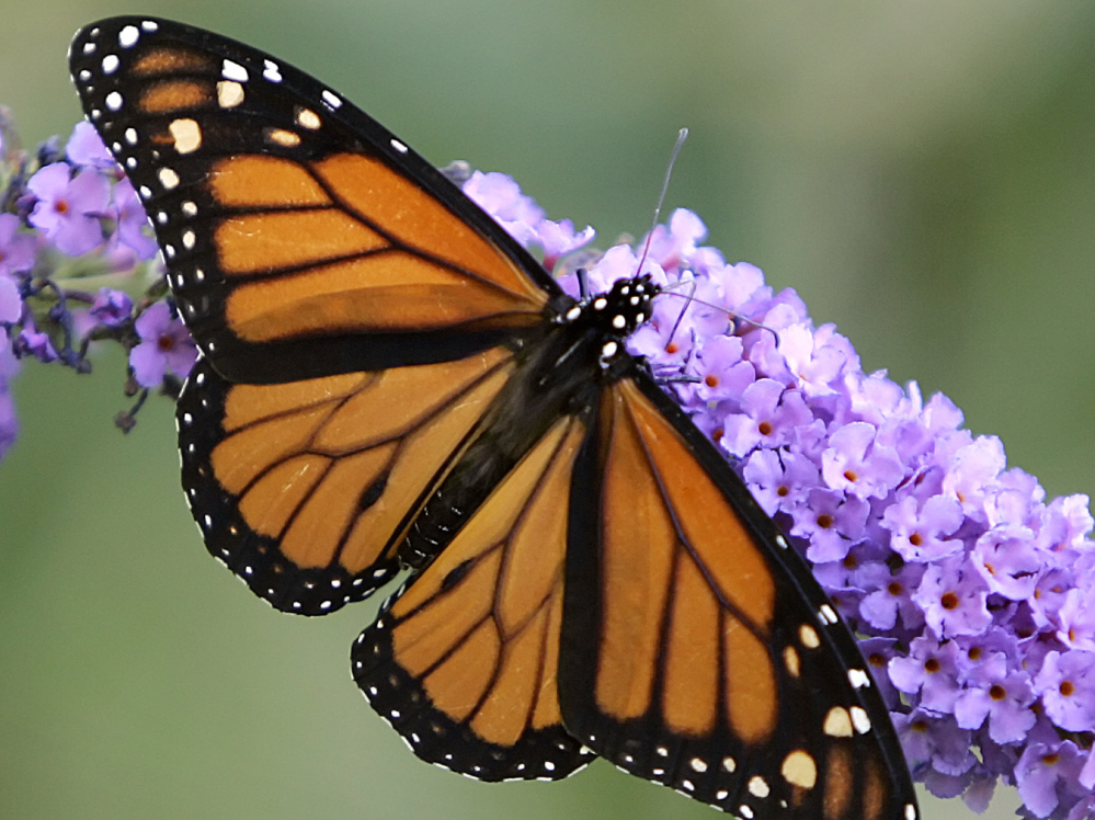 The delicate monarch can survive grueling migrations from Canada to Mexico.