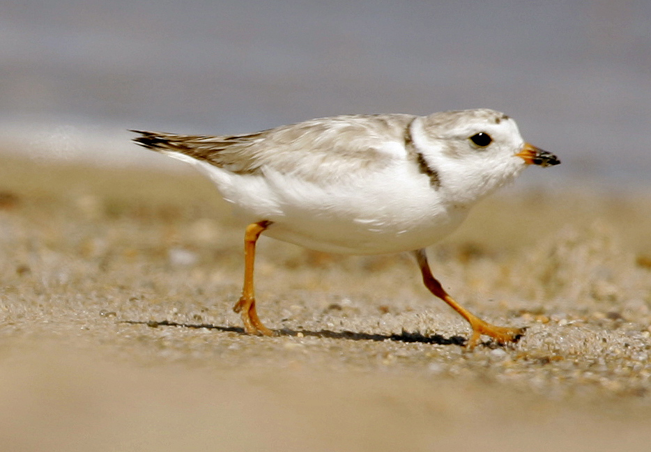 A court fight to protect the piping plover is holding up a plan to replenish sand along a 19-mile stretch of shoreline on New York's Fire Island. The Associated Press
