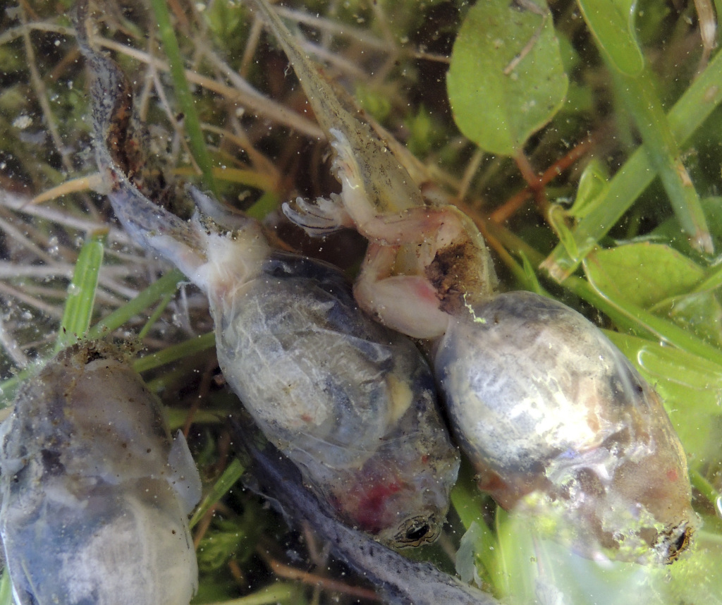 bowdoin professor identifies likely cause of mass frog deaths
