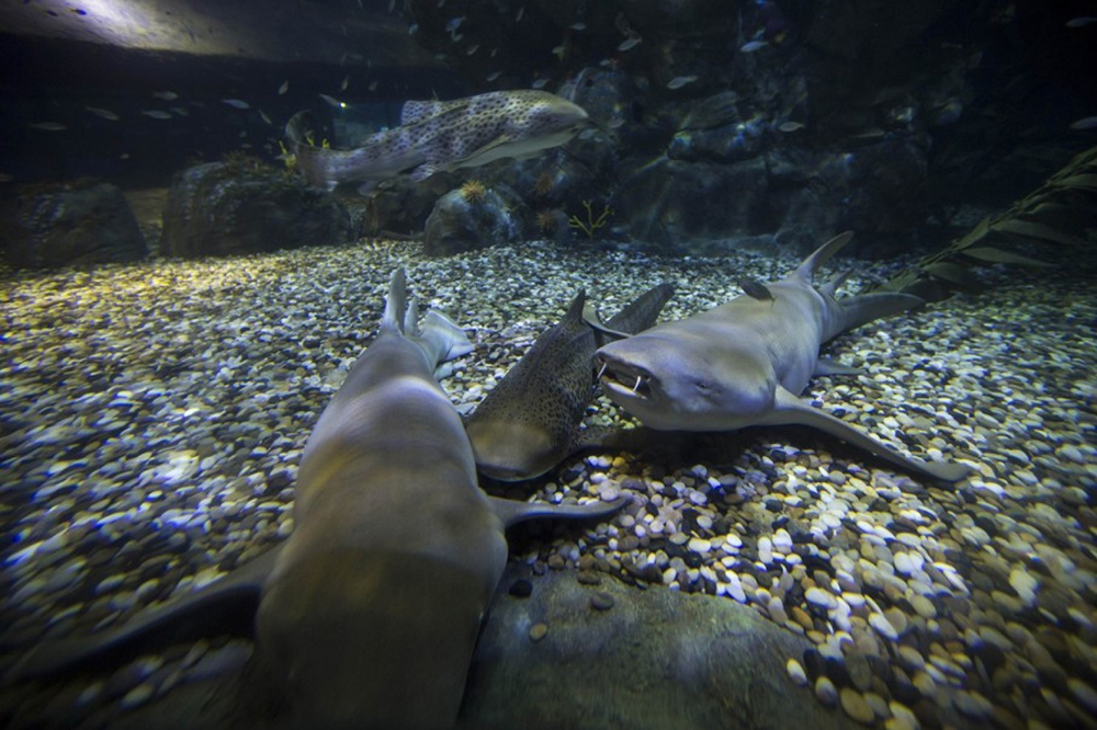 Some sharks just want to make friends, but others ride alone. Reuters