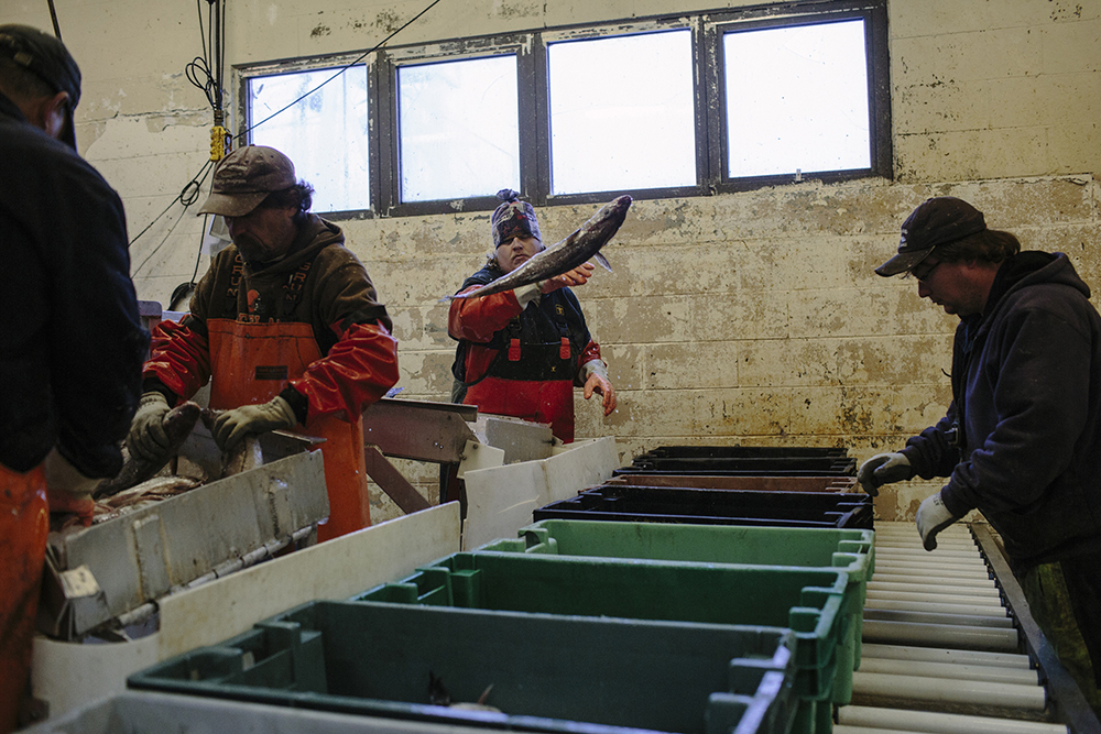 The portland fish exchange processes a catch of cod for Charlie s motor mall augusta me