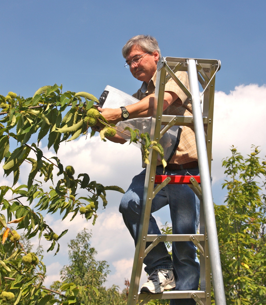 Bill Powell harvests cross-bred chestnuts at the State University of New York College of Environmental Science and Forestry near Syracuse, N.Y.