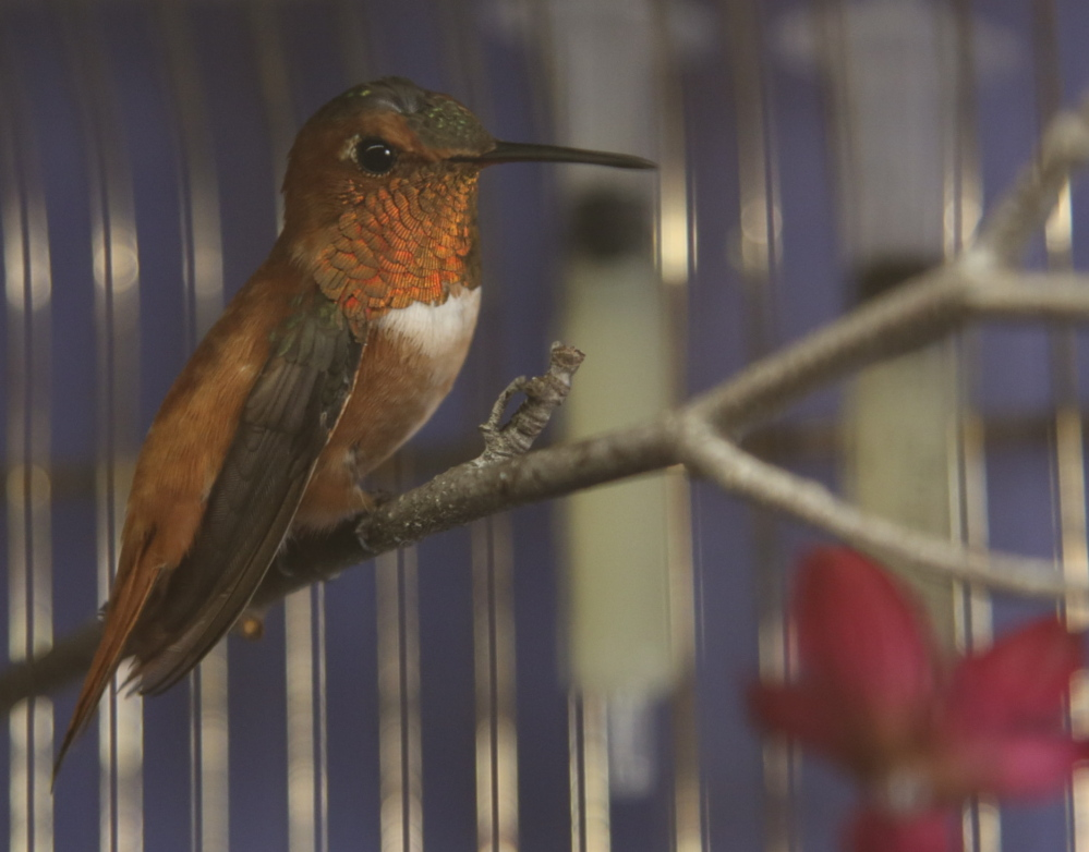 A Minnesota woman rescued this wayward rufous hummingbird from the cold and kept it in a cage at her house until it could be relocated to a warmer climate.