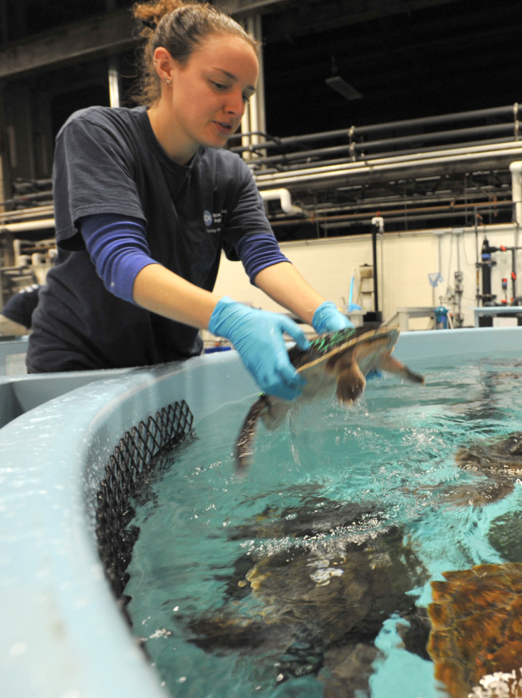 Warm Welcome Awaiting Turtles Rescued On Cape Portland