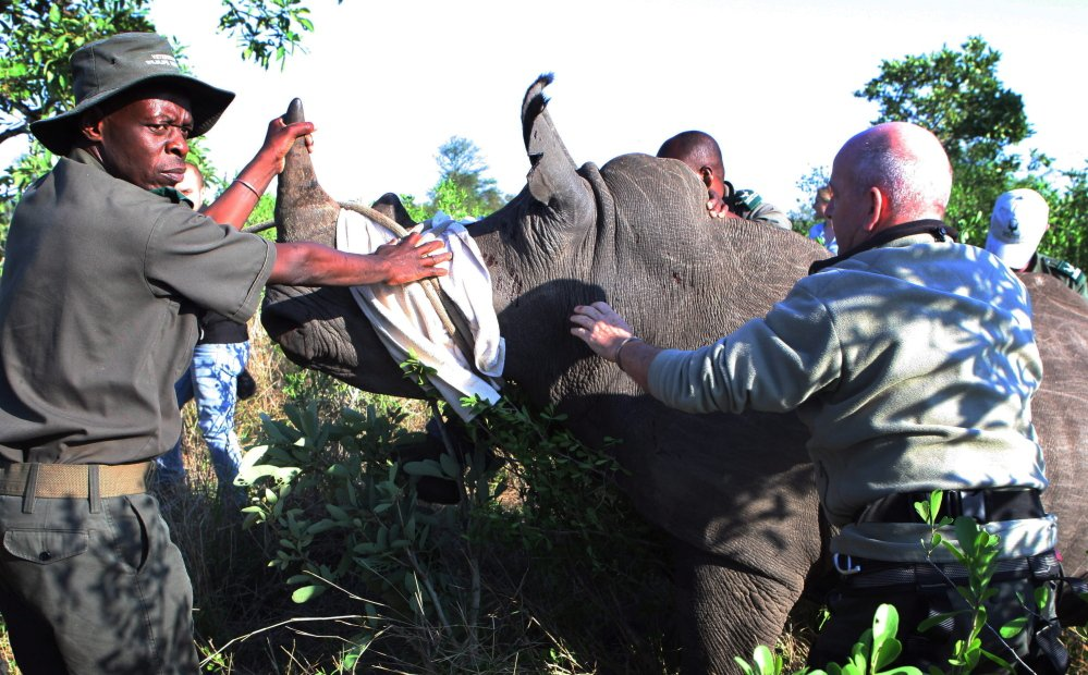 Rangers near Skukuza, South Africa, prepare a darted rhino for transport to an area safer from poachers. Rangers in Kruger National Park have conducted 29 such captures.