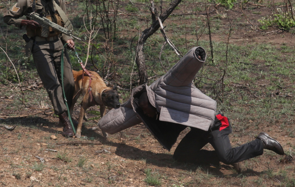 Rangers with their tracking dog re-enact how they work, in conjunction with a helicopter, to track down rhino poachers in the Kruger National Park near Skukuza, South Africa.