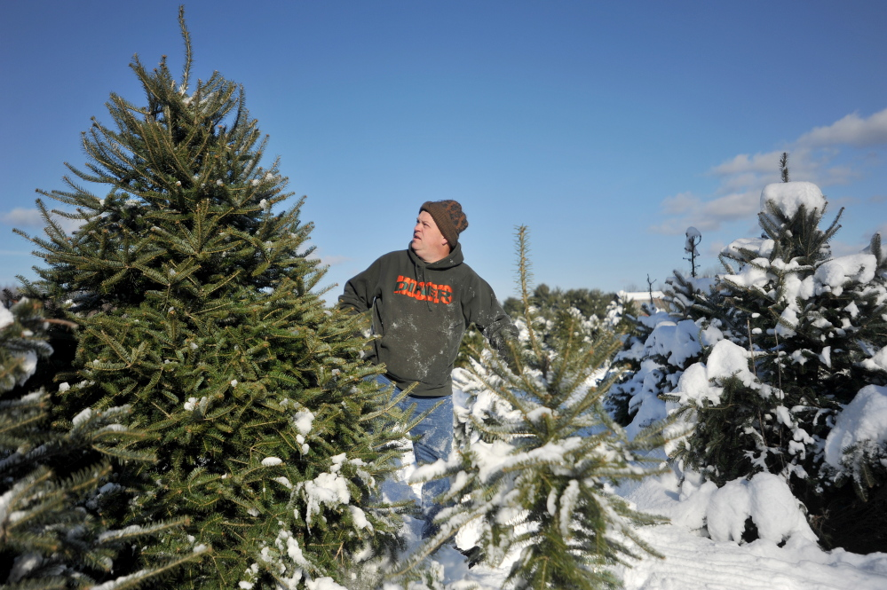 Mark Bellaire, of Clinton, inspects a balsam fir as his family's Christmas tree Saturday at Trees to Please in Norridgewock.
