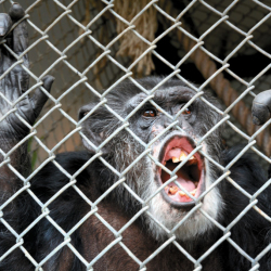 Tommy, a chimpanzee, lives alone in a cage at his home in Gloversville, N.Y. A chimpanzee is not entitled to the rights of a human, a court ruled Thursday.