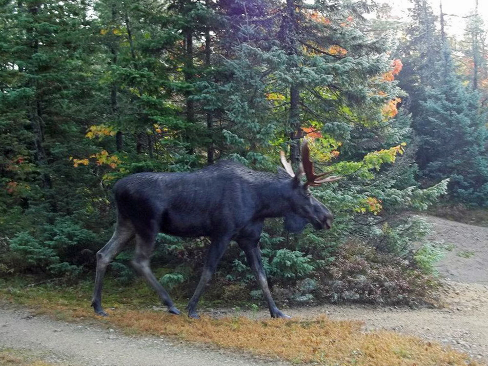 New England's autumn moose hunting tradition is attracting fewer prospective hunters as the moose population declines and sportsmen lose patience with the long odds of getting a coveted permit.