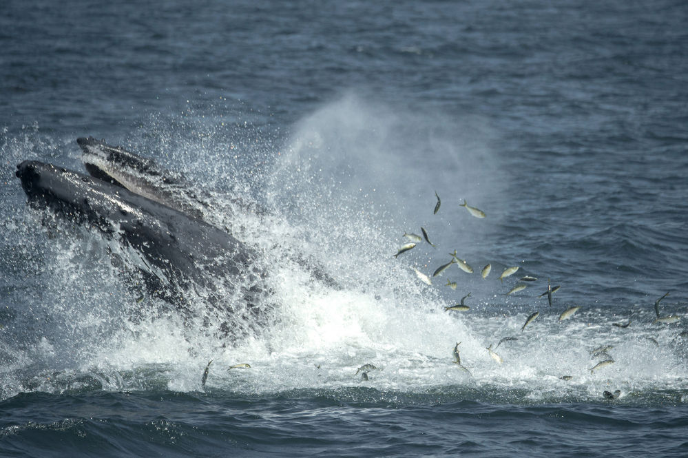 A humpback whale breaks the surface in the waters through a school of fish six miles off the coast of New York City.