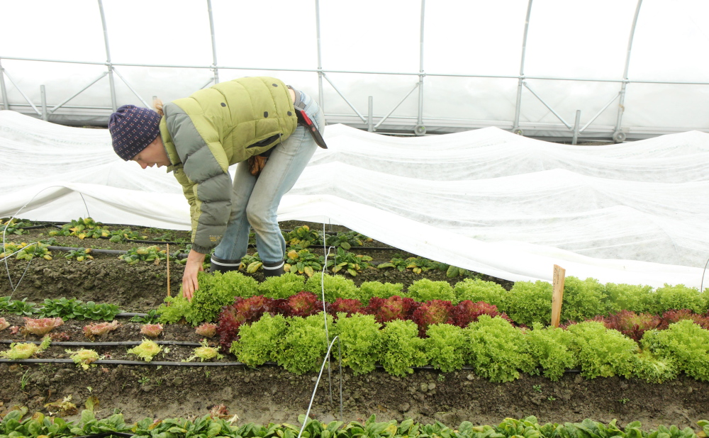 Katherine Creswell, farm manager in the KVCC sustainable agriculture program picks cold-tolerant lettuce called Salanova inside an unheated greenhouse, known as a high tunnel, on Friday.