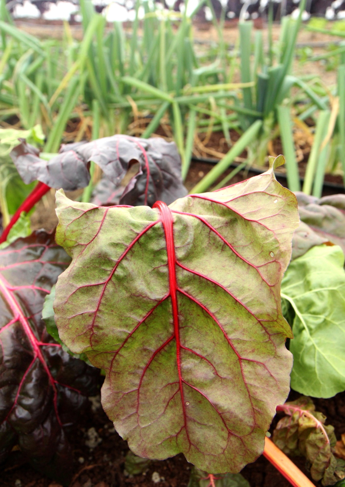Some chard inside an unheated greenhouse, called a high tunnel, at Kennebec Valley Community College's Harold Alfond Campus in Hinckley on Friday. KVCC is the only community college in Maine with a sustainable agriculture program.