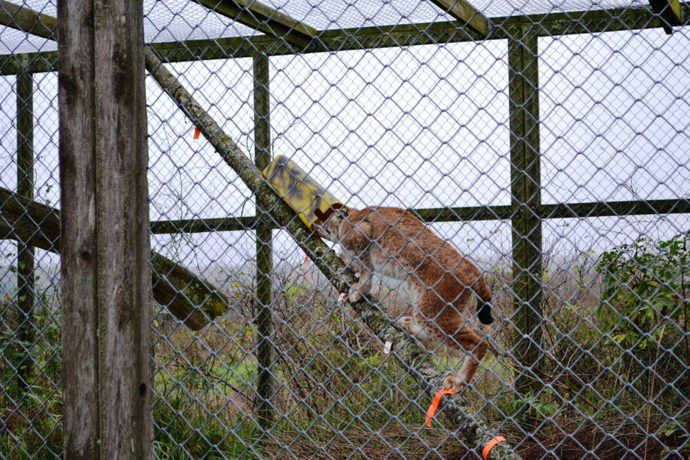 A photo obtained from the U.S. Fish and Wildlife Service through a Freedom of Information Act request shows a captive lynx accessing a simulated trap on a leaning pole setup. The leaning pole is intended to prevent lynx from being caught in traps. The photo was taken during a 2011 study that was conducted in Maine under Fish and Wildlife Service supervision.