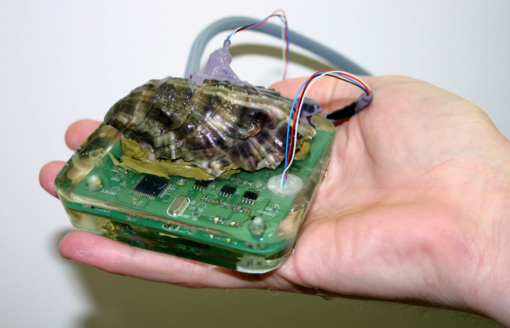 To learn more about how the herpes virus and warmer ocean water affects Pacific oysters, researchers at CSIRO, Australia's national science agency, and the University of Tasmania are using dental gum to attach heart-rate monitors to a half-dozen of them.