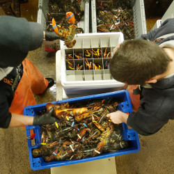 At The Lobster Co. in Arundel, Cory Agayoff, left, and David Jackson pack live lobsters into a foam container to be exported to China.
