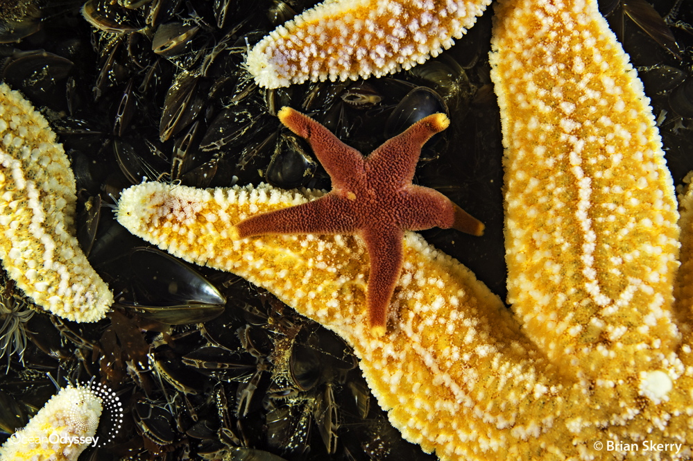 Marine life on Cashes Ledge includes sponges, sea stars and sea anemones, which form a brightly colored blanket on the ocean bottom, part of a 500-square-mile protected area.