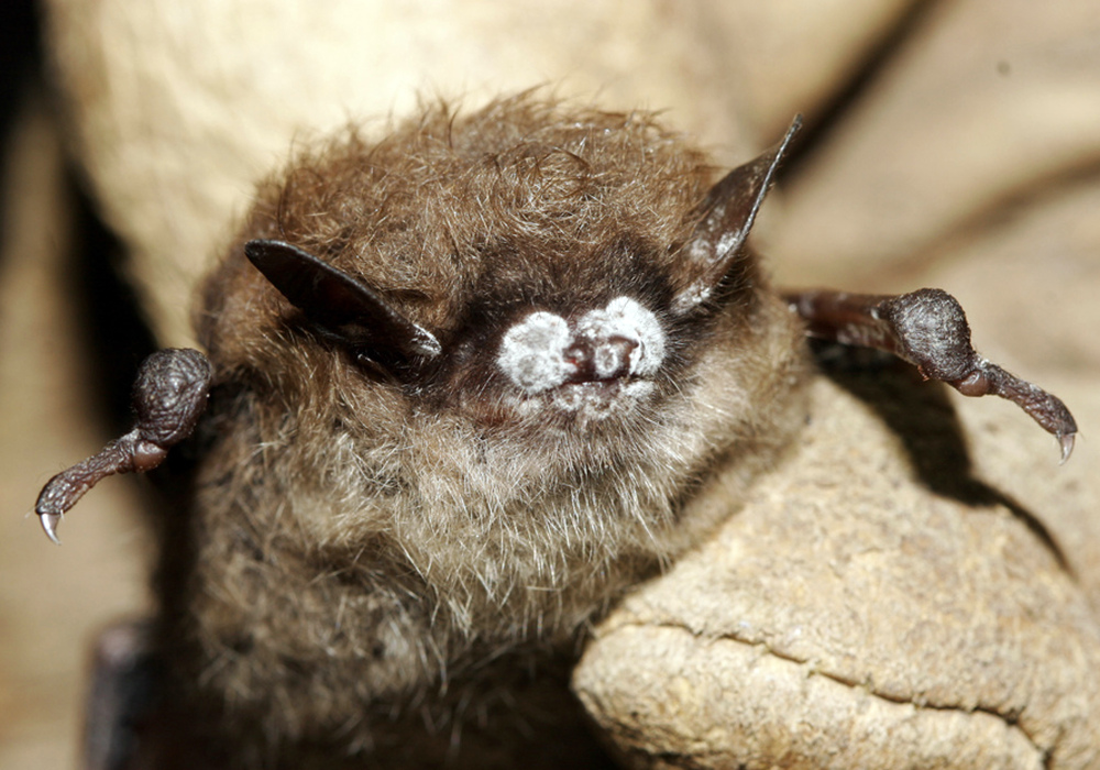 A little brown bat in New York exhibits the tell-tale signs of white-nosed syndrome, which has devastated bat populations across much of the U.S. and Canada.