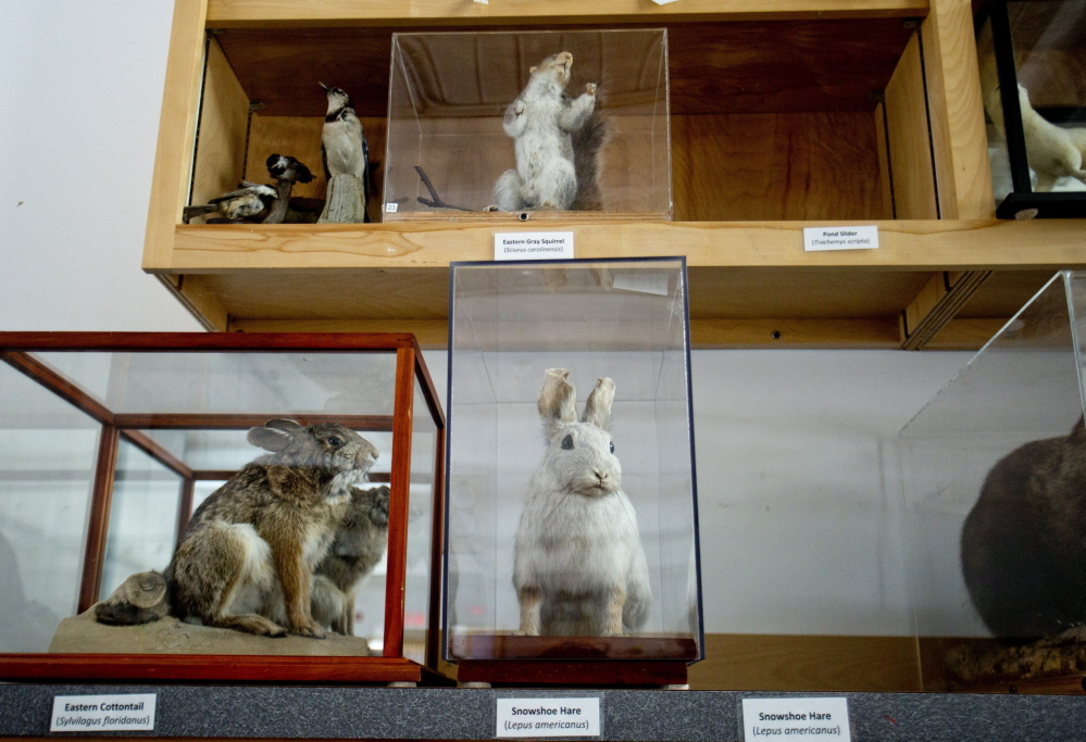 Two empty places are seen on the shelves of the Maine Audubon's collection in Falmouth where a snowshoe hare and pond slider turtle are usually kept. Both hare and turtle were found in snow behind the railing of the parking garage from which they originally went missing.