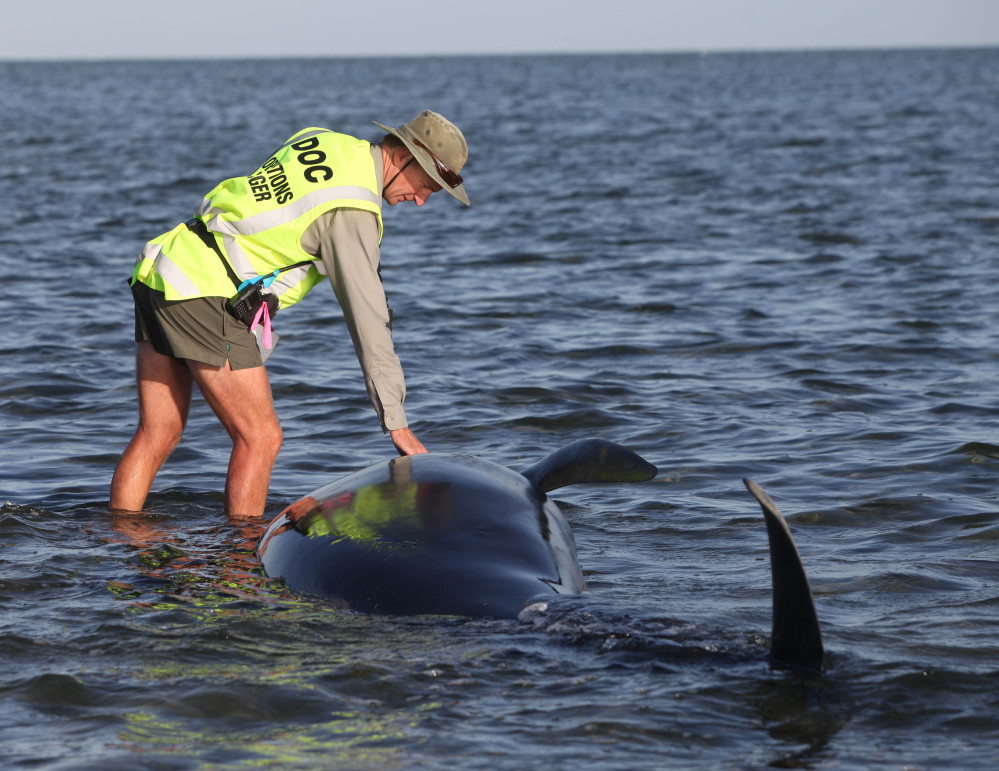 A worker tends to one of over 170 pilot whales that beached themselves on New Zealand's South Island.