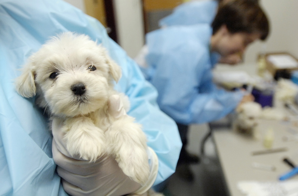 An animal care attendant at the Idaho Humane Society in Boise holds a 7-week-old Maltese puppy that was rescued from an Oregon puppy mill in 2007.