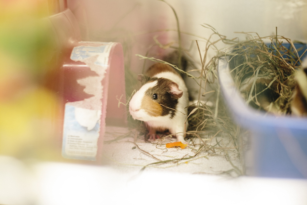 KENNEBUNK, ME - FEBRUARY 19: One of the 73 Guinea pigs surrendered at the Animal Welfare Society of West Kennebunk in Kennebunk, ME in February 18, 2015. (Photo by Whitney Hayward/Staff Photographer)
