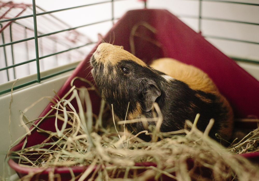 The Kennebunk shelter offered to take 73 guinea pigs because it had the space and expertise to deal with guinea pigs.