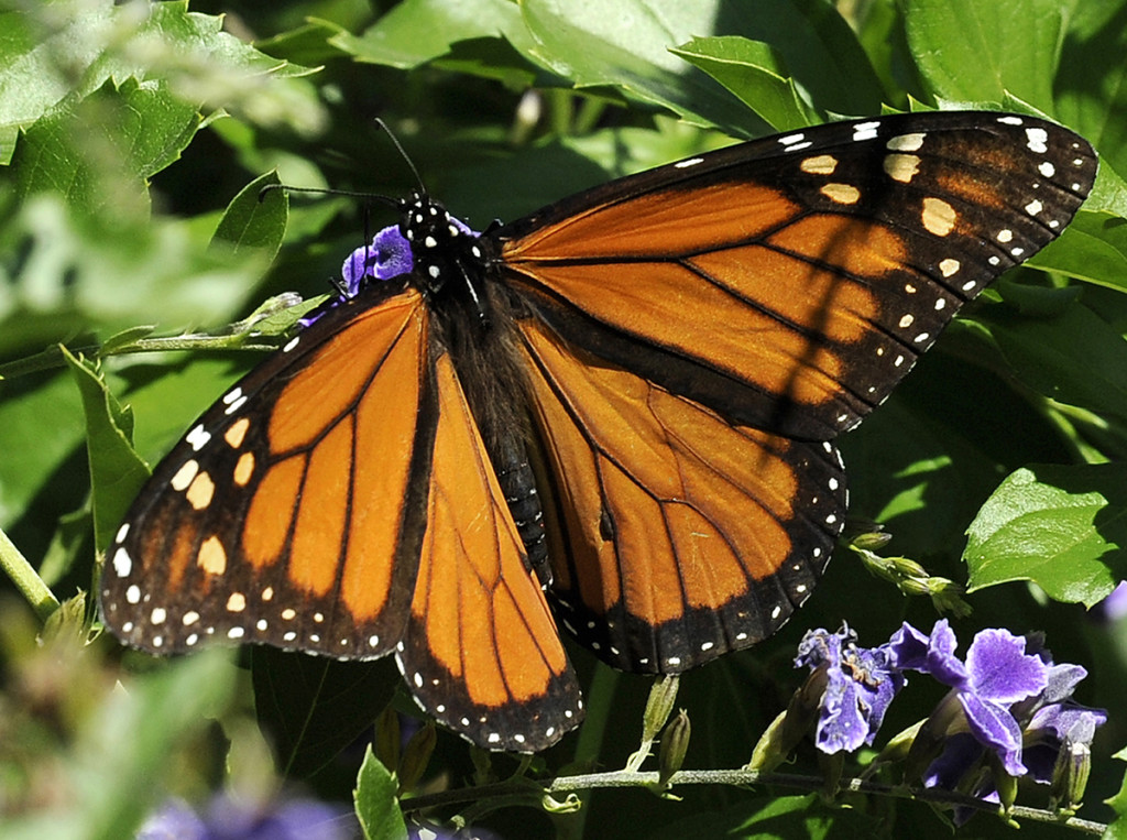 This photo taken Oct. 25, 2014 shows a Monarch butterfly feeding on a Duranta flower in Houston. The monarch lays its eggs exclusively on the milkweed plant. Conversion of prairies into cropland and the increasing use of pesticide-resistant crops have greatly reduced milkweed. The Associated Press