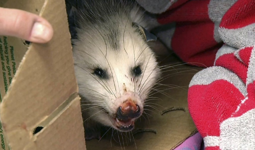 A female opossum peers from a box at the Wildlife Clinic of the Cummings School of Veterinary Medicine at Tufts University's campus in Grafton, Mass. The opossum, which had been hit by a car, was found with 10 young ones in her pouch and suffering from frostbite on her paws and tip of her tail.