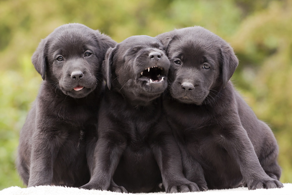 Supporters of the bill argue that the Labrador retriever is the perfect symbol for Maine because it's friendly, hard-working and loves the outdoors. Shutterstock image