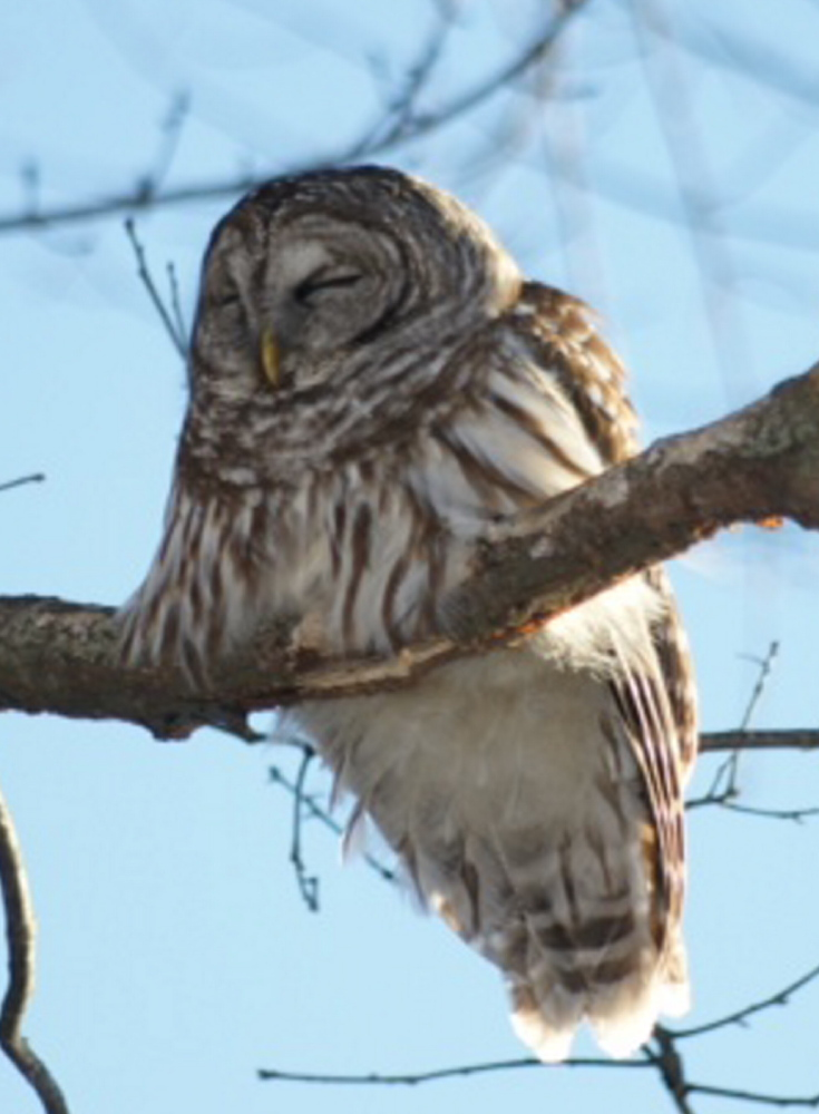 A nocturnal hunter, this barred owl was napping after a long night of waiting for small critters to scurry within striking distance of its lethal talons. By Scarborough's Robert E. Duffey.
