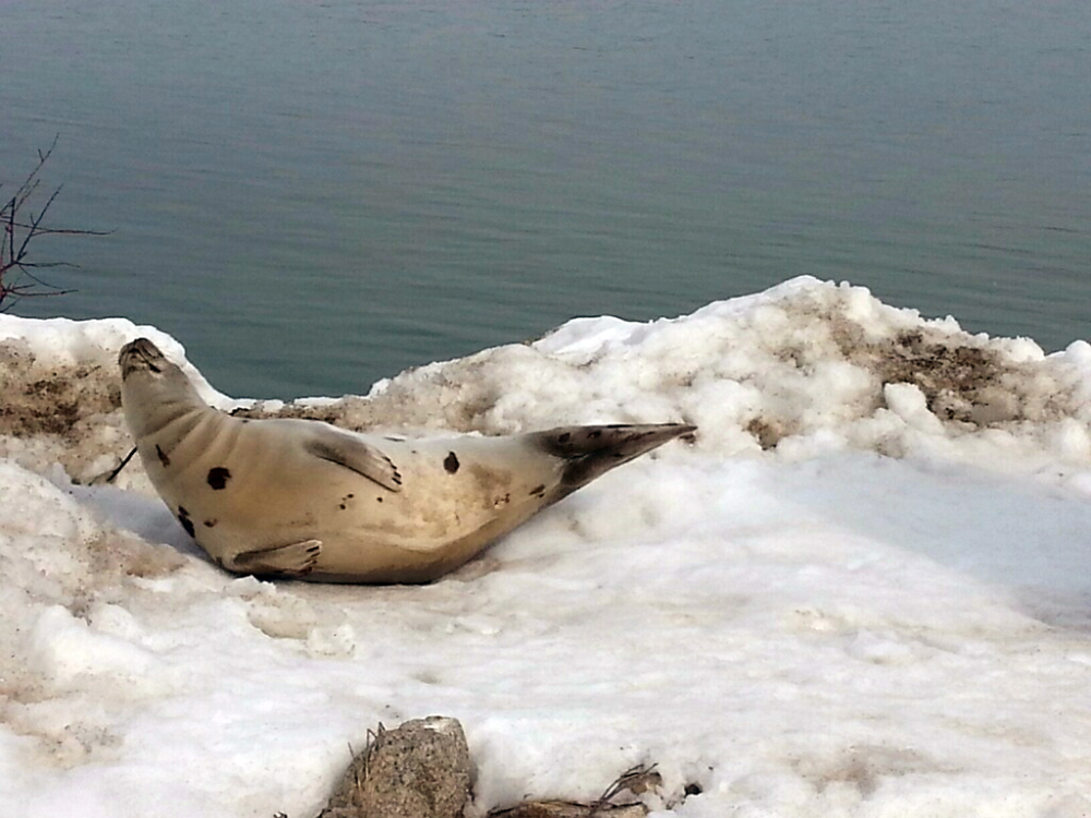 A seal is stranded on a snowbank in Wells on Sunday. The Associated Press/Wells Police Department, Officer Kevin Schoff