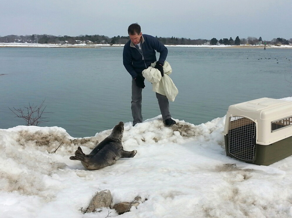 A member of Marine Mammals of Maine observes a harp seal that had apparently been stuck on a snowbank in Wells on Sunday. Members of the nonprofit group and the Wells Police Department were prepared to help, but the animal waddled into Wells Harbor on its own.