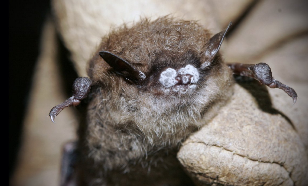 A brown bat shows symptoms of the fungus white nose syndrome. The state is proposing adding the little brown bat and the long-eared bat to the endangered species list.