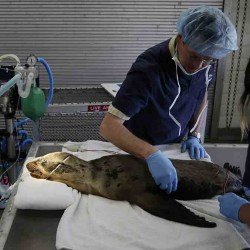 Dr. Todd Schmitt and veterinarian technician Jen Rego prepare an injured sea lion for eye surgery at SeaWorld's Animal Rescue Center on March 10 in San Diego. Since January, more than 1,100 starving and sickly sea lion pups have washed up along California's coast. Rescue centers have taken in about 800 but are stretched thin by the demand. The Associated Press
