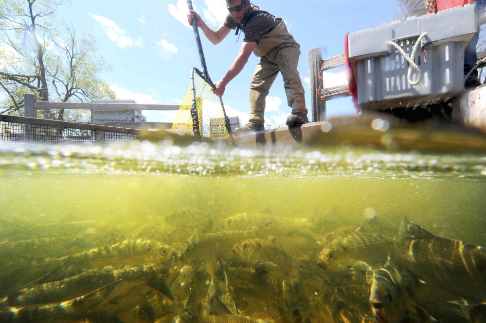 Tommy Keister nets a batch of alewives from a collecting pool entering Webb Pond in Vassalboro on May 12, 2014. Keister, a lobsterman from Friendship Harbor, nets the abundant fish as they run up the rivers from the ocean to spawn. The fish will be sold to other lobstermen to be used as lobster bait. (Staff photo by Michael G. Seamans)