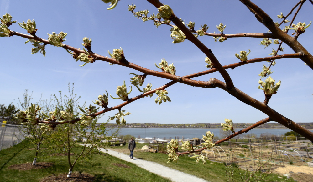 Mt. Joy Orchard, showing signs of spring – and promise – on Thursday.
