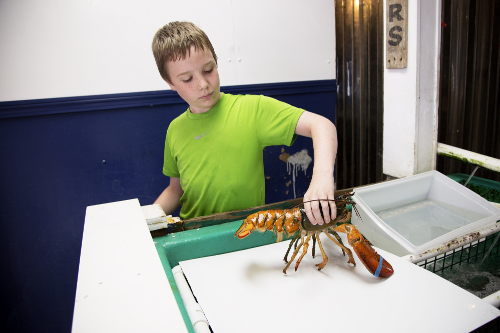 Ted Hyatt, 12, of New Fairfield, Connecticut, handles the orange-brown lobster at the Pine Point Fisherman's Co-Op on Monday, July 6, 2015..