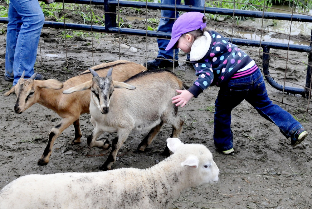 Bellatrix Grant gently chases goats and lambs inside a pen at the Caverly Farm in Clinton during Open Farm Day on Sunday.