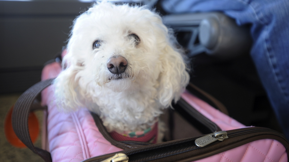 Nena, a poodle-Bichon frise mix, sits in her carrier after Tony Corrao, Victoria Torres and Mayra Cuevas were booted off a JetBlue flight because the carrier would not fit completely under a seat.