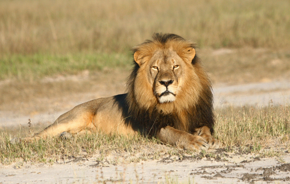 Zimbabwe's National Parks and Wildlife Authority has suspended the hunting of lions, leopards and elephants outside of Hwange National Park, after the killing of Cecil.
