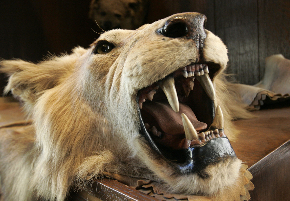 Theodore Roosevelt's hunts might provoke an outcry today, with one of his trophies being this lion's head that hangs at New York's The Explorers Club.