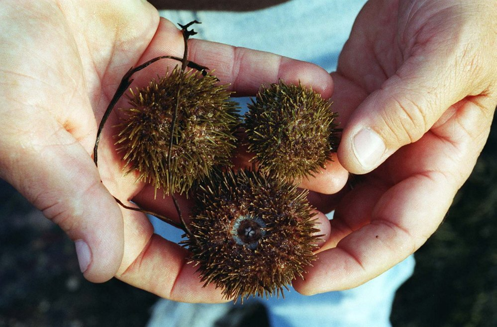 Sea urchins are subject to inspection when entering Maine from Canada and when they're exported from the country. That slows the process of getting the perishable product to market.