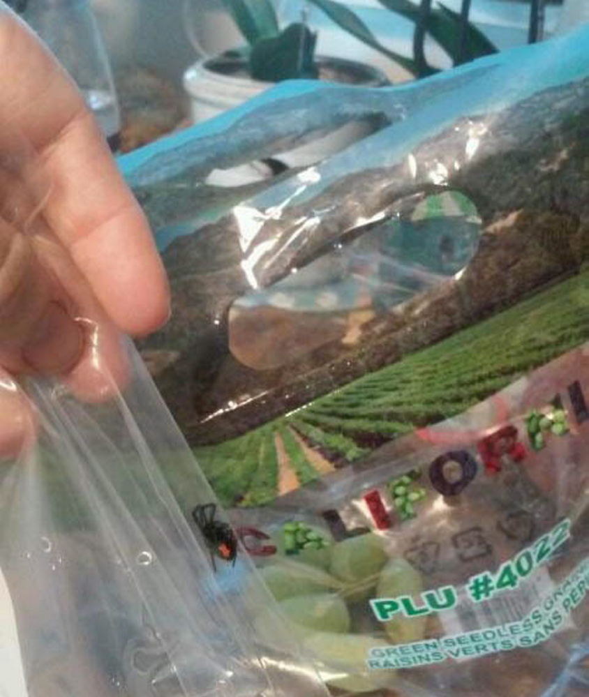 Melissa Emmons of Portland found this black widow spider in a bag of grapes she bought in South Portland.